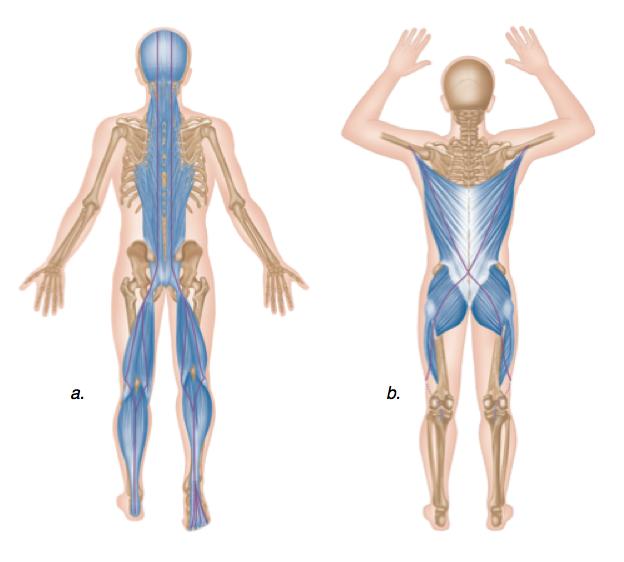 Anatomía y Fisiología Humana Integrada al Movimiento Funcional ...